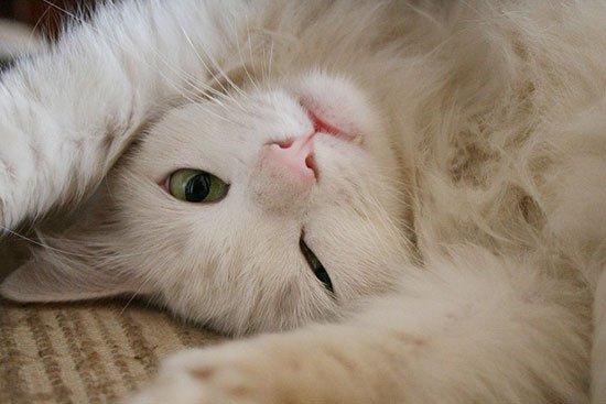 Кошки могут побороть СПИД